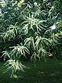 Castanea mollissima 1.jpg