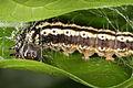 Caterpillar`s home (6259458831).jpg
