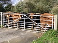 Cattle at the gate to Offenham Park - geograph.org.uk - 626279.jpg
