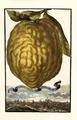 Cedro grosso Bondolotto Volkamer 1708 114.png