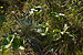 Celmisia plants LC0380.jpg