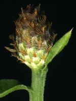 Centaurea stoebe ssp micranthos EP4490-01.png