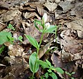 Cephalanthera damasonium White Helleborine (44286559754).jpg