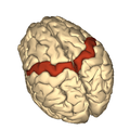 Cerebrum - precentral gyrus - superior view2.png