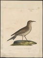 Certhilauda capensis - 1825-1834 - Print - Iconographia Zoologica - Special Collections University of Amsterdam - UBA01 IZ16100365.tif