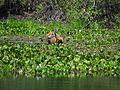 Cervo-do-Pantanal.JPG