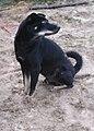 Chó đen (chó mực) ở Cát Sơn (3).jpg