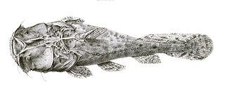 <i>Chaca</i> (genus) genus of fishes