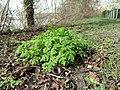 Chaerophyllum temulum plant (11).jpg