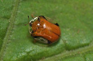 <i>Charidotella</i> Genus of beetles
