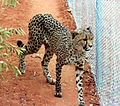 Cheetah at the Pearl Coast Zoo.jpg