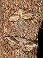 Chelepteryx chalepteryx (28539977448).jpg