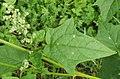 Chenopodium hybridum leaf (4).jpg