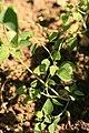 Chenopodium vulvaria plant (9).jpg