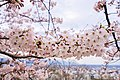 Cherry blossoms at Matsuyama Castle, Ehime Prefecture; April 2017 (21).jpg