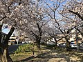 Cherry blossoms near Zasshonokuma Station 20190401-16.jpg