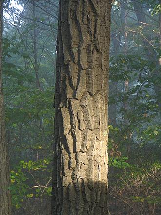 Quercus montana - The distinctive bark of the chestnut oak