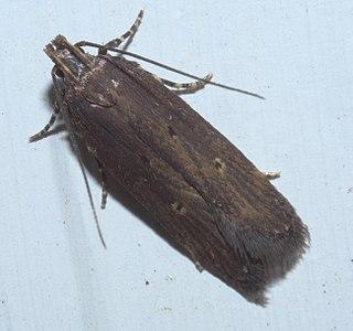 <i>Chionodes discoocellella</i> species of insect