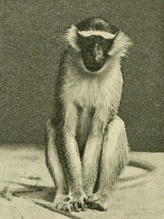 Tantalus monkey Species of Old World monkey
