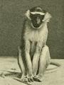 Chlorocebus tantalus.png