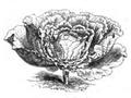 Chou Milan de Norvège Vilmorin-Andrieux 1883.png