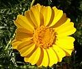 Chrysanthemum coronarium L.jpg