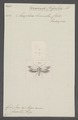 Chrysoclista - Print - Iconographia Zoologica - Special Collections University of Amsterdam - UBAINV0274 058 15 0002.tif