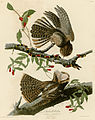 Chuck-will's Widow (Audubon).jpg