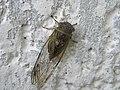 Cicada (3850520937).jpg