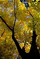 "Cincinnati - Spring Grove Cemetery & Arboretum ""Suger Maple in Autumn"" (5381687910).jpg"
