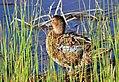 Cinnamon Teal on Seedskadee National Wildlife Refuge (26212515533).jpg