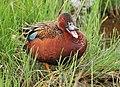 Cinnamon Teal on Seedskadee National Wildlife Refuge (26529086844).jpg