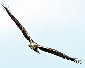 Rohrweihe (Circus aeruginosus) ♀