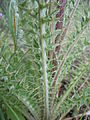 Cirsium brevistylum (5975394221).jpg
