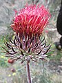 Cirsium species - Flickr - theforestprimeval.jpg