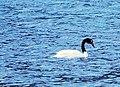 Cisne de cuello negro.jpg