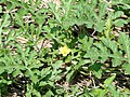 Citrullus lanatus2SHSU.jpg