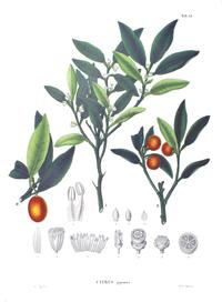 Citrus japonica SZ15.png