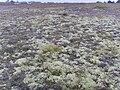 Cladonia dunes.jpg