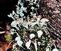 Cladonia grayi-11.jpg