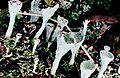 Cladonia grayi-2.jpg