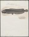Clarias magur - 1700-1880 - Print - Iconographia Zoologica - Special Collections University of Amsterdam - UBA01 IZ14600005.tif