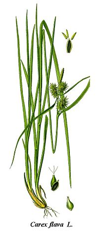 Cleaned-Illustration Carex flava
