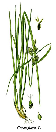 Cleaned-Illustration Carex flava.jpg