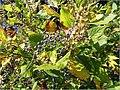 Clethra alnifolia 14zz.jpg