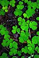 Clover Leaves (Clatsop County, Oregon scenic images) (clatDA0054c).jpg