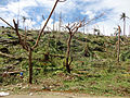 Coconut trees destroyed by Typhoon Bopha in Boston, Davao Oriental.jpg