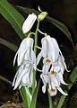 Coelogyne kemiriensis (37046661122) - cropped.jpg