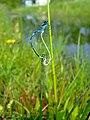 Coenagrion pulchellum fm1.jpg