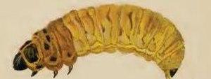 Coleophora anatipennella - Larva